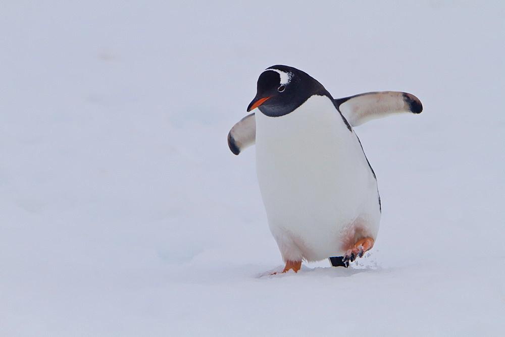 Gentoo penguins (Pygoscelis papua) in Antarctica, Southern Ocean