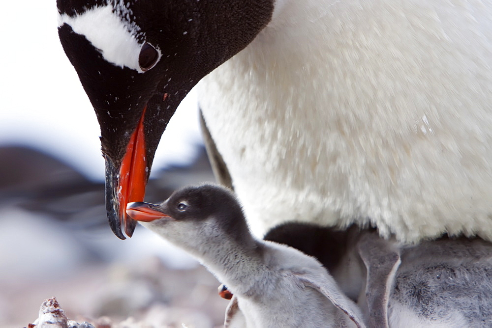 Gentoo penguin parent (Pygoscelis papua) with chicks in Antarctica, Southern Ocean. MORE INFOThe gentoo penguin is the third largest of all penguins worldwide, with adult gentoos reach a height of 51 to 90 cm (20-36 in).There are an estimated 80,000 breeding gentoo penguin pairs in the Antarctic peninsula area with a total population estimate of around 314,000 breeding pairs in all of Antarctica. Gentoo penguins are listed as Near Threatened on the IUCN Red List.