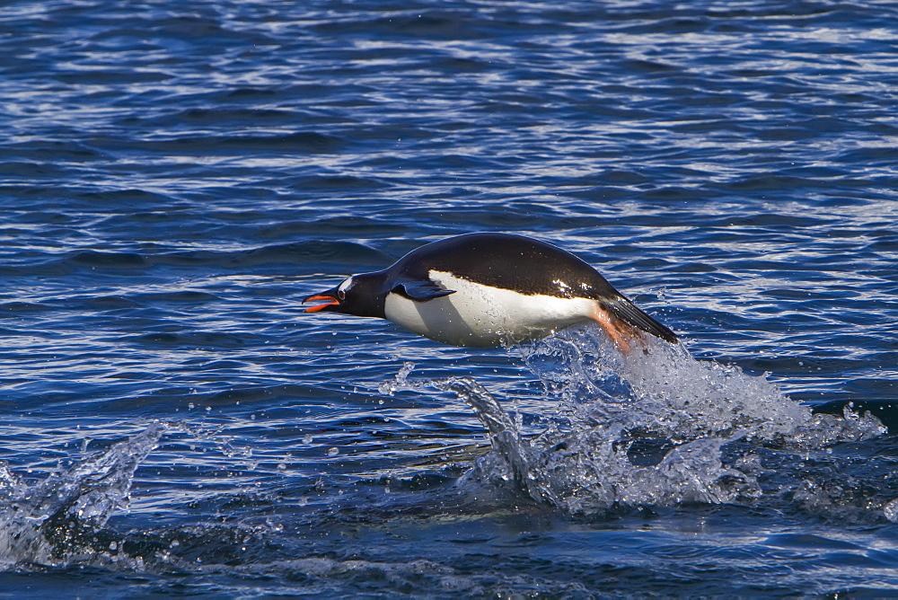 Gentoo penguins (Pygoscelis papua) porpoising in Antarctica, Southern Ocean