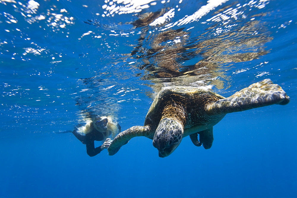 Snorkeler with adult green sea turtle (Chelonia mydas) in the protected marine sanctuary at Honolua Bay on the northwest side of the island of Maui, Hawaii, USA