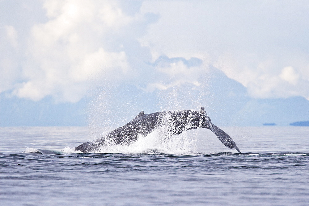 """A group of adult humpback whales (Megaptera novaeangliae) co-operatively """"bubble-net"""" feeding along the west side of Chatham Strait in Southeast Alaska, USA. Pacific Ocean. Shown here is an adult tail-throwing after a bubble-net set."""