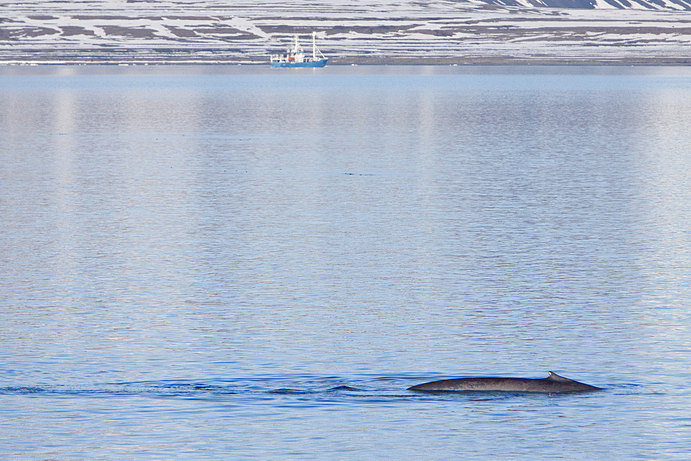 A very rare sighting of an adult blue Whale (Balaenoptera musculus) sub-surface feeding off the northwestern side of Spitsbergen Island in the Svalbard Archipelago, Barents Sea, Norway. MORE INFO At up to 32.9 metres (108 feet) in length and 172 metric tonnes (190 tons) or more in weight, it is the largest animal ever known to have existed.