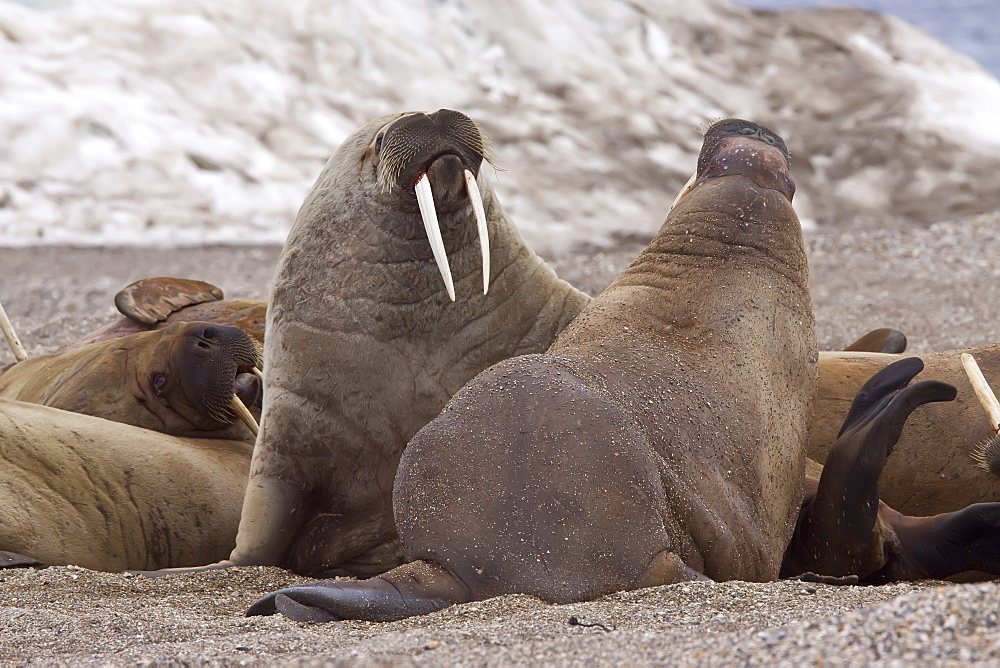 Adult male walrus (Odobenus rosmarus rosmarus) at Torellneset, a point on Nordaustlandet Island in the Hinlopenstretet in the Svalbard Archipelago in the Barents Sea, Norway. MORE INFO While isolated Atlantic males can weigh as much as 4,000 lb, most weigh between 1,500 and 3,500 lb. Females weigh about two thirds as much as males. The most prominent physical feature of the walrus is its long tusks, actually elongated canines, which are present in both sexes and can reach a length of over 3 ft and weigh up to 12 lb.