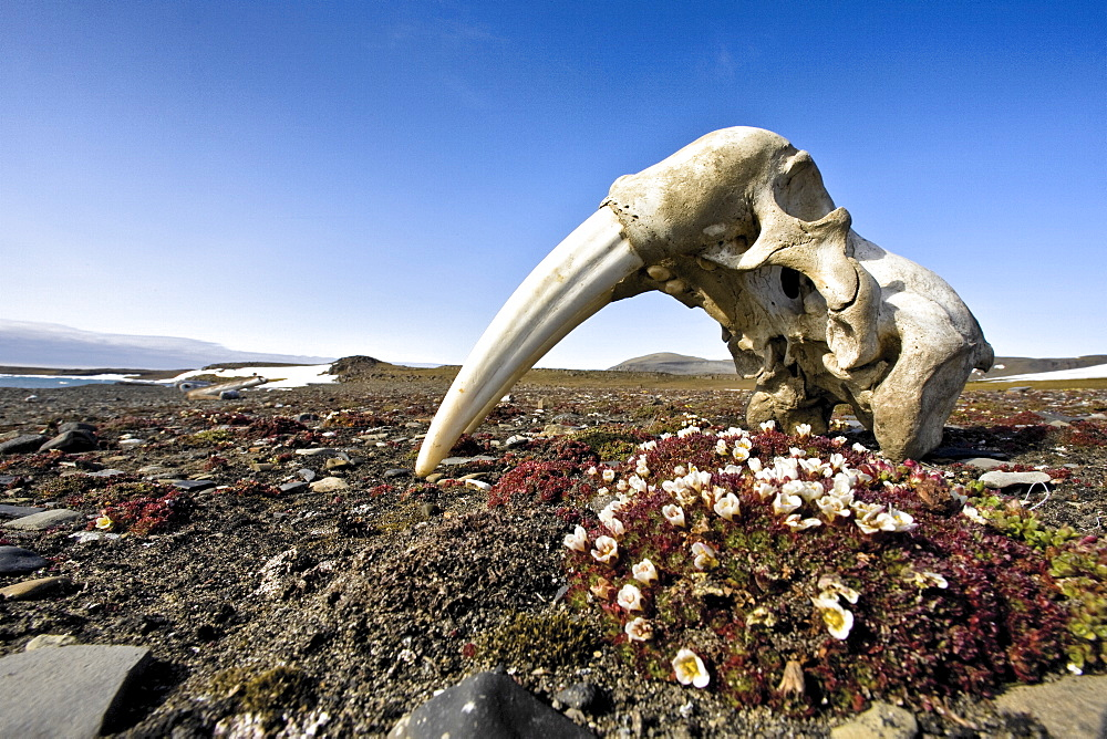 Walrus skull (Odobenus rosmarus rosmarus) on the tundra off Freemansundet in the Svalbard Archipelago in the Barents Sea, Norway. MORE INFO While isolated Atlantic males can weigh as much as 4,000 lb, most weigh between 1,500 and 3,500 lb. Females weigh about two thirds as much as males. The most prominent physical feature of the walrus is its long tusks, actually elongated canines, which are present in both sexes and can reach a length of over 3 ft and weigh up to 12 lb.