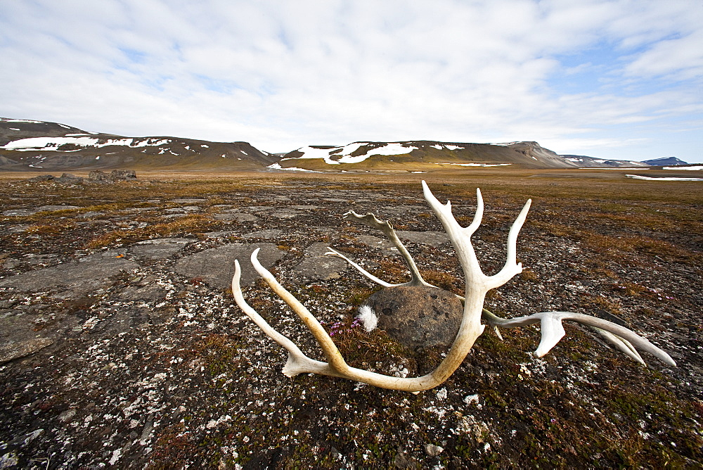 Svalbard reindeer antlers (Rangifer tarandus platyrhynchus) on the gentle plains of Talaveraflya on the south shore of Borentsoya. in the Svalbard Archipelago, Norway. MORE INFO The Svalbard reindeer is a small subspecies of Rangifer tarandus. Males are significantly larger than females and have larger antlers. Svalbard reindeer are short-legged and have relatively short, round heads.