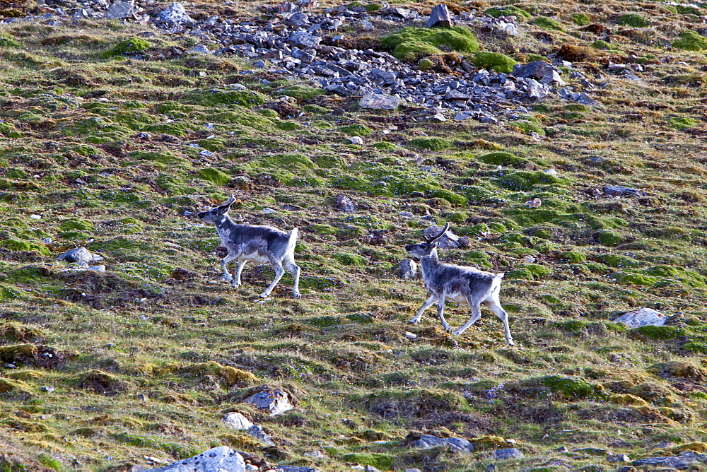 Svalbard reindeer (Rangifer tarandus platyrhynchus) on tundra in Lilleh^^kfjord on Spitsbergen Island in the Svalbard Archipelago, Norway. MORE INFO The Svalbard reindeer is a small subspecies of Rangifer tarandus. Males are significantly larger than females and have larger antlers. Svalbard reindeer are short-legged and have relatively short, round heads.