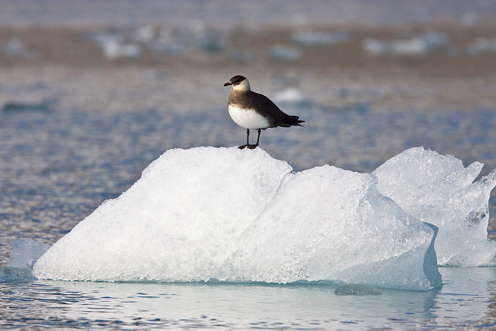 Adult Arctic Skua (Stercorarius parasiticus) resting on ice near the Monaco Glacier in the Svalbard Archipelago. MORE INFO This skua is also known as the Parasitic Jaeger in North America, and referred to as the Parasitic Skua in some publications. It is a seabird in the skua family Stercorariidae. This bird will feed on rodents, small birds and insects but also robs gulls and terns of their catches.
