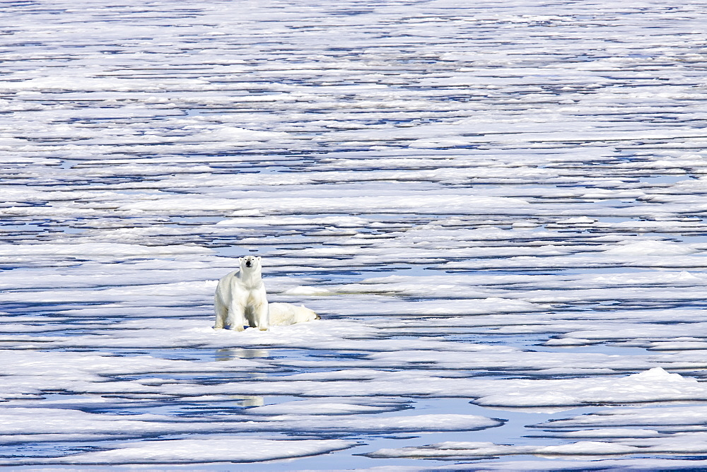 """A pair of polar bears (Ursus maritimus) on multi-year ice floes (these two are probably recently weaned siblings) in the Barents Sea off the eastern coast of Edge›ya (Edge Island) in the Svalbard Archipelago, Norway. MORE INFO An adult male weighs around 400-680 kg (880-1,500 lb) while an adult female is about half that size. The IUCN now lists global warming as the most significant threat to the polar bear, primarily because the melting of its sea ice habitat reduces its ability to find sufficient food. The IUCN states, """"If climatic trends continue polar bears may become extirpated from most of their range within 100 years."""""""