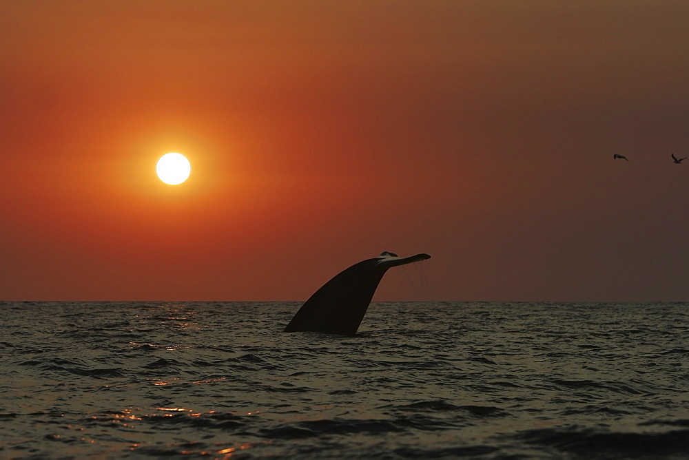 Blue Whale (Balaenoptera musculus) fluke-up dive at sunset in the offshore waters of Santa Monica Bay, California, USA. The blue whale is the largest animal to ever live on planet Earth.