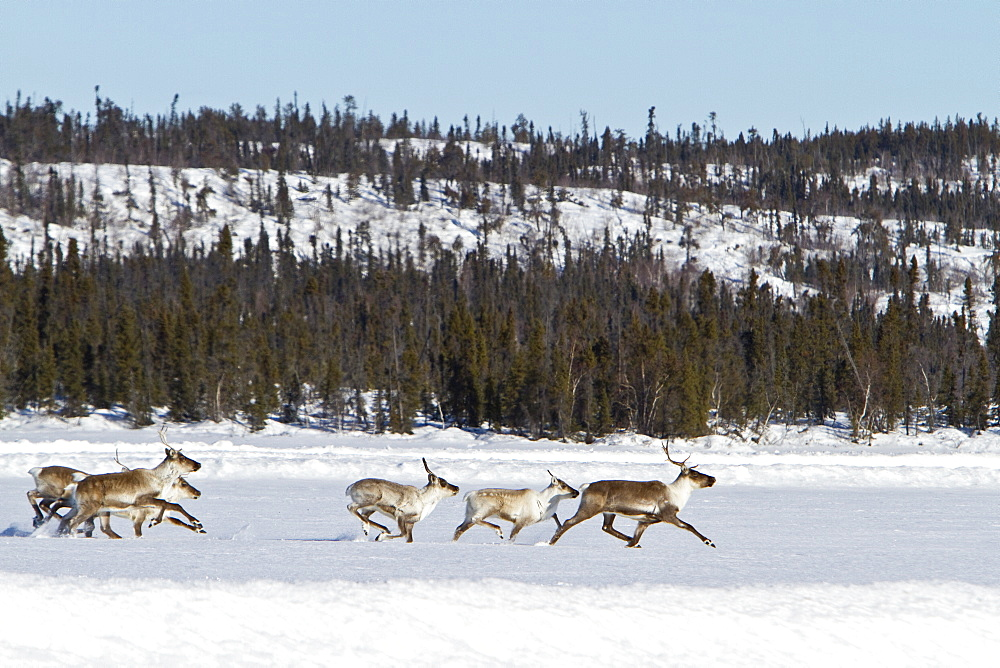 A small group of caribou (Rangifer tarandus) migrating north to feeding grounds in the spring from Yellowknife, Northwest Territories, Canada. MORE INFO also known as the reindeer this animal travels the furthest of any terrestrial mammal, traveling up to 5,000 km (3,100 mi) a year. The caribou can run at speeds of 60?80 km/h (37?50 mph). Caribou often use the ice road for ease of travel through deep snow areas.