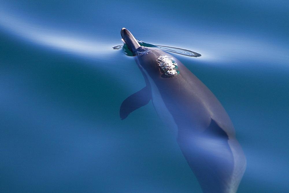 Long-beaked common dolphin pod (Delphinus capensis) encountered in the southern Gulf of California (Sea of Cortez), Baja California Sur, Mexico