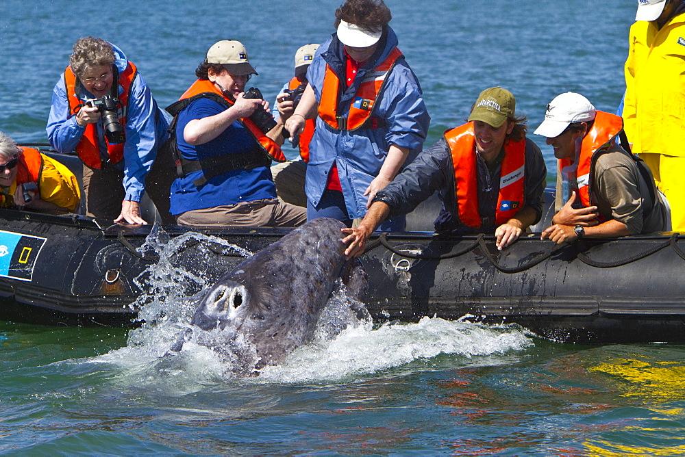 California gray whale (Eschrichtius robustus) calf with excited whale watchers in San Ignacio Lagoon, Baja California Sur, Mexico