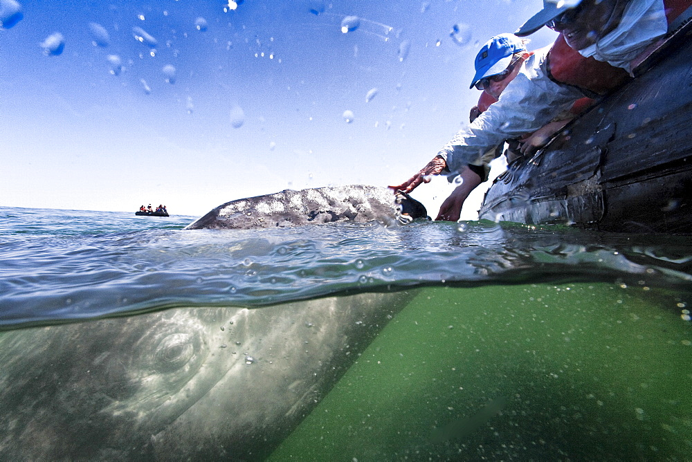 California gray whale (Eschrichtius robustus) calf with excited whale watchers in San Ignacio Lagoon on the Pacific side of the Baja Peninsula, Baja California Sur, Mexico