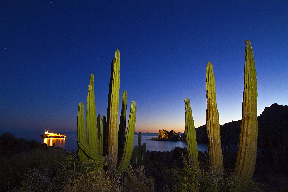 "Cardon cactus (pachycereus pringlei) being ""painted"" with light at night on Isla Catalina in the lower Gulf of California (Sea of Cortez), Baja California, Mexico. MORE INFO The cardon is the tallest cactus in the world with a maximum recorded height of 63 feet."