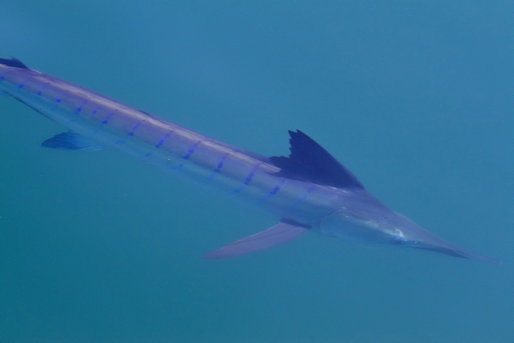 An adult striped marlin (Tetrapturus audax) swimming slowly at the surface in the midriff region of the Gulf of California (Sea of Cortez), Baja California Norte, Mexico. MORE INFO It is a large commercial game fish with a record weight (at 1982) of 190 kg, and a maximum length of 420 cm.