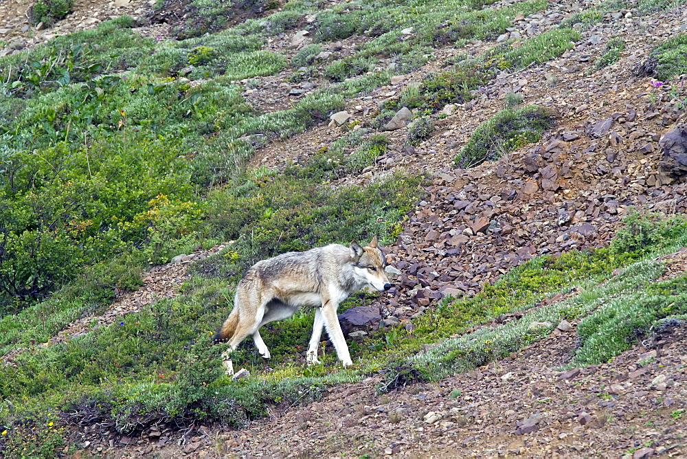 Adult gray wolf (Canis lupus),  in Denali National Park, Alaska, USA. MORE INFO Gray wolves travel greater distances than any other terrestrial mammal except the caribou. The average size of a wolf pack's territory in Alaska is about 600 square miles. They are often sighted along the park road as it offers an easy route through the park.
