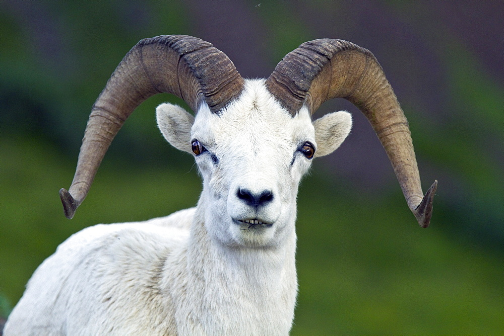 Adult Dall sheep (Ovis dalli) in Denali National Park, Alaska, USA. MORE INFO It takes a Dall ram about eight years to grow the majestic, circular horns that are the trademark of this species, these horns are made of keratin, the same substance as fingernails. The latter half of the Latin binomial dalli is derived from William Healey Dall (1845?1927), an American naturalist.