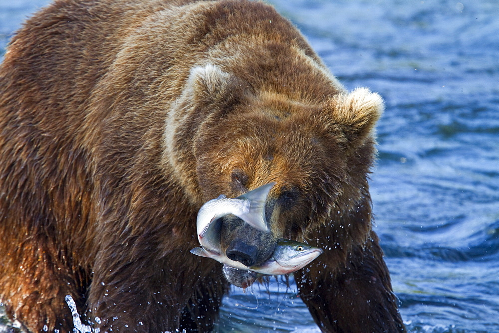 Adult brown bear (Ursus arctos) foraging for salmon at the Brooks River in Katmai National Park near Bristol Bay, Alaska, USA. Pacific Ocean. MORE INFO Every July salmon spawn in the river between Naknek Lake and Brooks Lake and brown bears congregate near the falls to catch and eat them as they swim upstream. A variety of feeding strategies are employed to catch the salmon including catching them in the air as they jump over the falls, wading in the shallow water for them, diving in deeper water for them, swatting them out of the water and onto the shore, pouncing on them in shallow water, and even stealing them from other bears who have caught them.