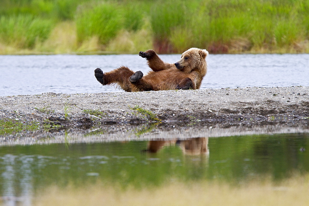 Young adult brown bear (Ursus arctos) scratching its back on the gravel at the Brooks River in Katmai National Park near Bristol Bay, Alaska, USA. Pacific Ocean