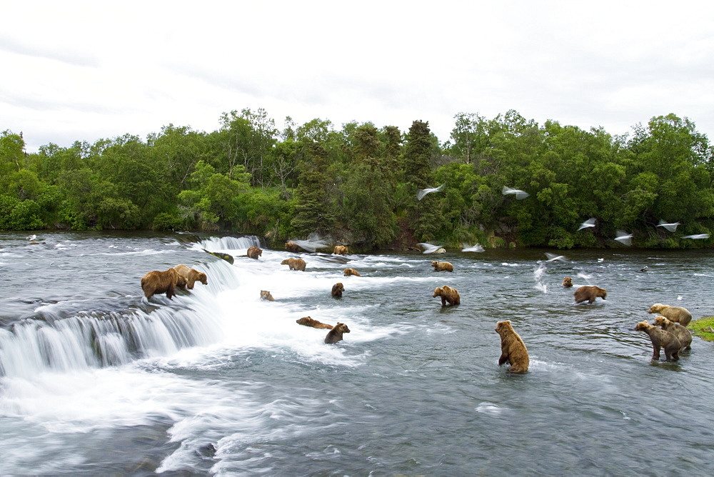 A view from the Park Service platform where adult brown bear (Ursus arctos) forage for salmon at the Brooks River in Katmai National Park near Bristol Bay, Alaska, USA. Pacific Ocean. MORE INFO Every July salmon spawn in the river between Naknek Lake and Brooks Lake and brown bears congregate near the falls to catch and eat them as they swim upstream. A variety of feeding strategies are employed to catch the salmon including catching them in the air as they jump over the falls, wading in the shallow water for them, diving in deeper water for them, swatting them out of the water and onto the shore, pouncing on them in shallow water, and even stealing them from other bears who have caught them.