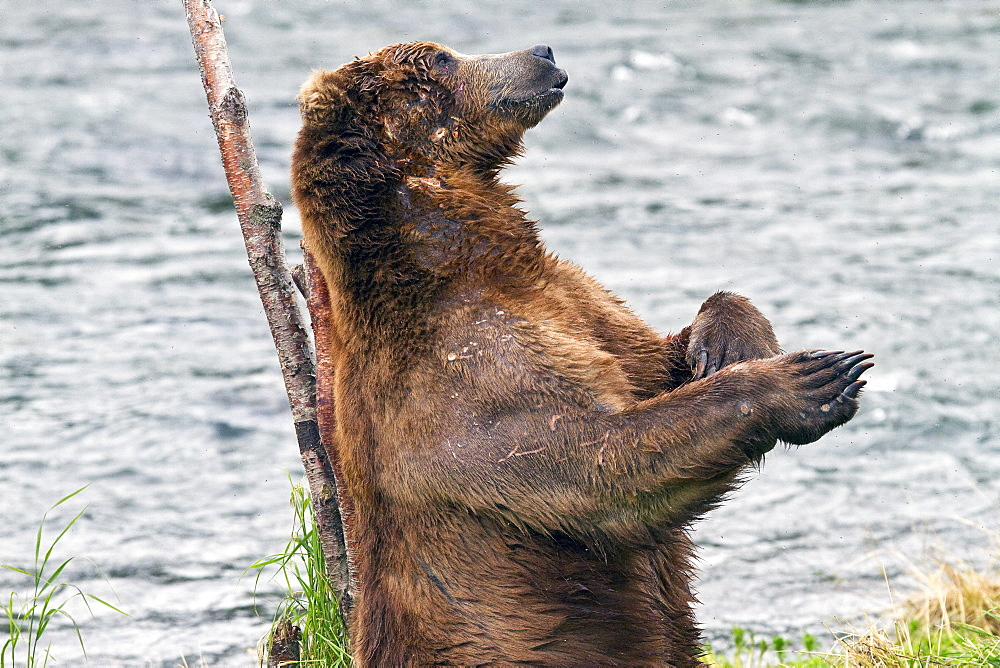 Adult brown bear (Ursus arctos) scratching its back on a tree at the Brooks River in Katmai National Park near Bristol Bay, Alaska, USA. Pacific Ocean