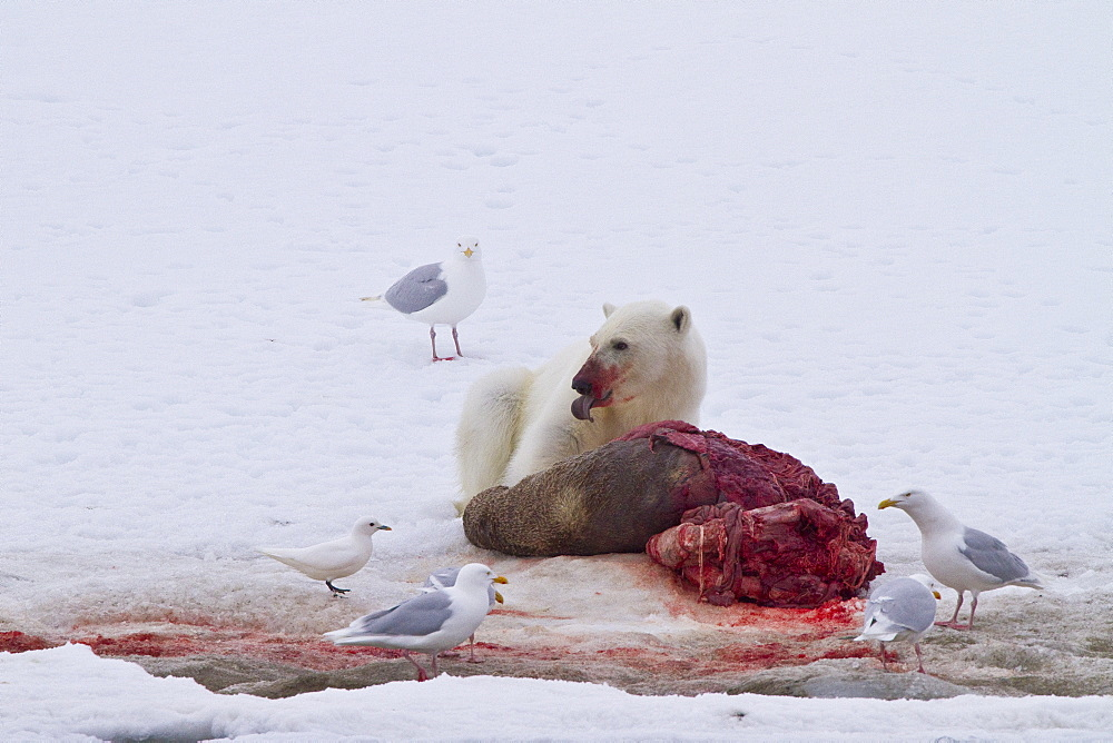 "A younger polar bear (Ursus maritimus) scavenging  a fresh bearded seal kill recently vacated by the old male that killed the seal near Monacobreen Glacier, Spitsbergen in the Svalbard Archipelago, Norway. MORE INFO The IUCN now lists global warming as the most significant threat to the polar bear, primarily because the melting of its sea ice habitat reduces its ability to find sufficient food. The IUCN states, ""If climatic trends continue polar bears may become extirpated from most of their range within 100 years."""