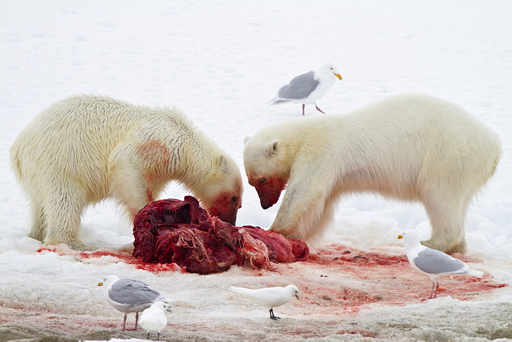 "Two young polar bears (Ursus maritimus) feeding side-by-side on a fresh bearded seal kill near Monacobreen Glacier, Spitsbergen in the Svalbard Archipelago, Norway. MORE INFO The IUCN now lists global warming as the most significant threat to the polar bear, primarily because the melting of its sea ice habitat reduces its ability to find sufficient food. The IUCN states, ""If climatic trends continue polar bears may become extirpated from most of their range within 100 years."""