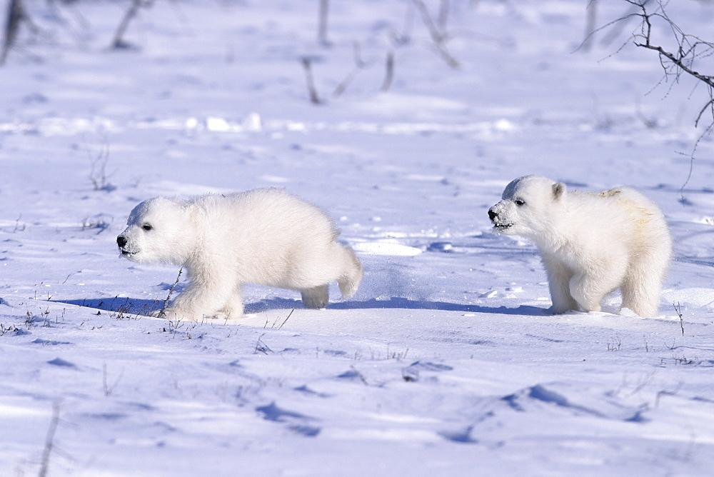 Polar Bear cubs (Ursus maritimus) running on open snow, Churchill, Manitoba, Hudson Bay, Canada