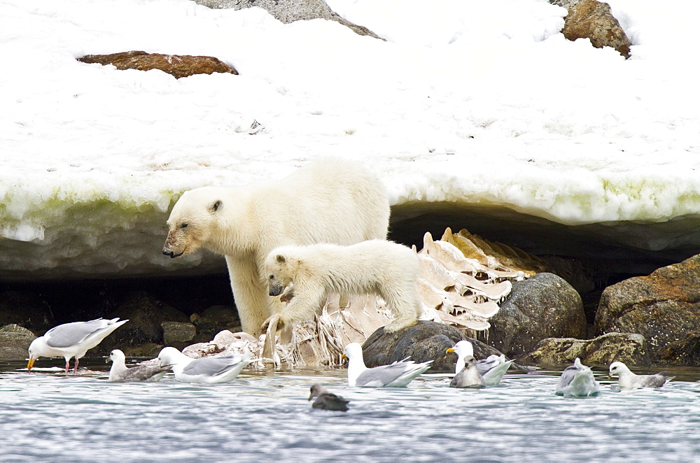 """Polar bears (Ursus maritimus) adult and cub hunting, Monacobreen Glacier, Spitsbergen in the Svalbard Archipelago, Norway. MORE INFO The IUCN now lists global warming as the most significant threat to the polar bear, primarily because the melting of its sea ice habitat reduces its ability to find sufficient food. The IUCN states, """"If climatic trends continue polar bears may become extirpated from most of their range within 100 years."""""""