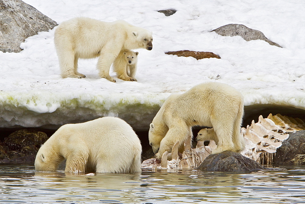 """Polar bears (Ursus maritimus) adults and cub hunting, Monacobreen Glacier, Spitsbergen in the Svalbard Archipelago, Norway. MORE INFO The IUCN now lists global warming as the most significant threat to the polar bear, primarily because the melting of its sea ice habitat reduces its ability to find sufficient food. The IUCN states, """"If climatic trends continue polar bears may become extirpated from most of their range within 100 years."""""""