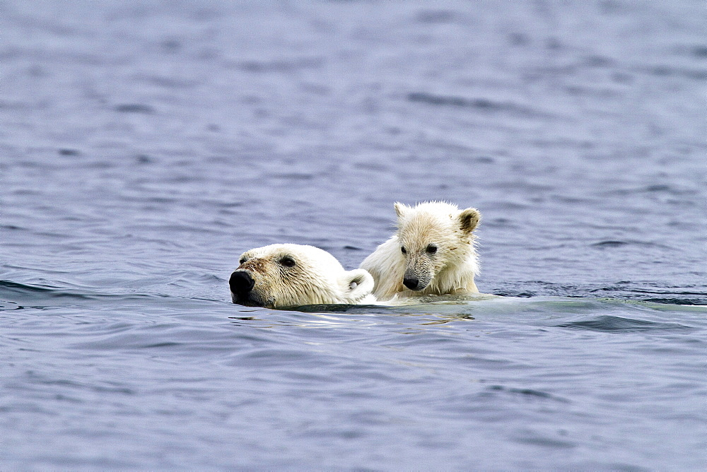 """Polar bears (Ursus maritimus) adult and cub swimming. Monacobreen Glacier, Spitsbergen in the Svalbard Archipelago, Norway. MORE INFO The IUCN now lists global warming as the most significant threat to the polar bear, primarily because the melting of its sea ice habitat reduces its ability to find sufficient food. The IUCN states, """"If climatic trends continue polar bears may become extirpated from most of their range within 100 years."""""""