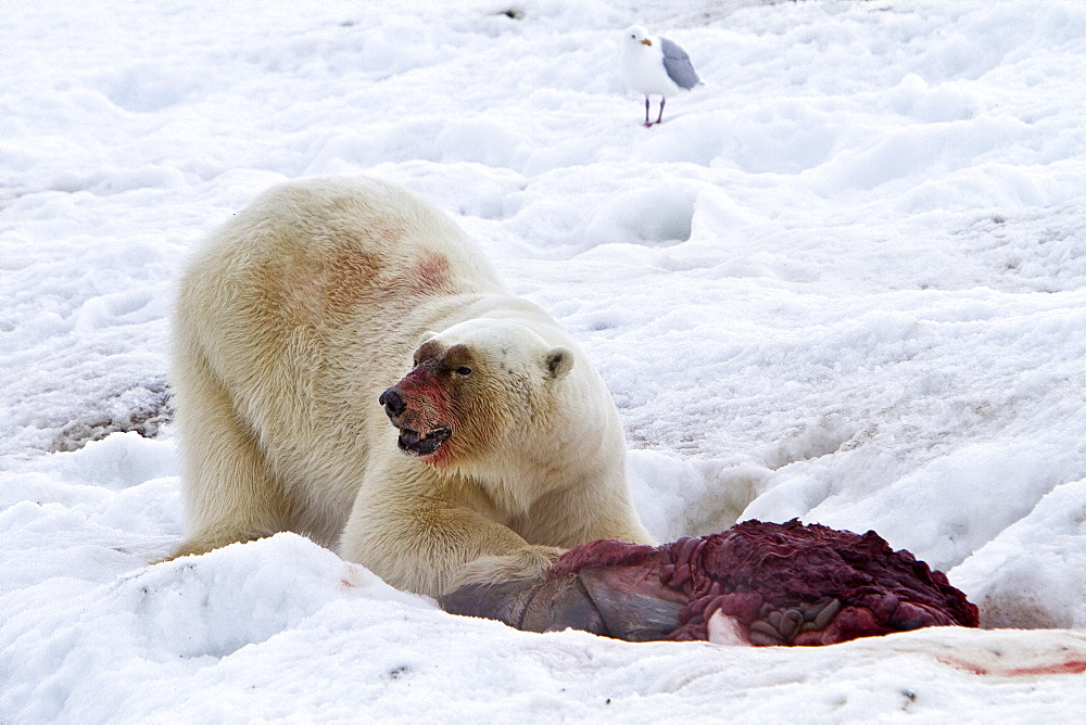 "A well-scarred old male polar bear (Ursus maritimus) on a fresh bearded seal kill near Monacobreen Glacier, Spitsbergen in the Svalbard Archipelago, Norway. MORE INFO The IUCN now lists global warming as the most significant threat to the polar bear, primarily because the melting of its sea ice habitat reduces its ability to find sufficient food. The IUCN states, ""If climatic trends continue polar bears may become extirpated from most of their range within 100 years."""