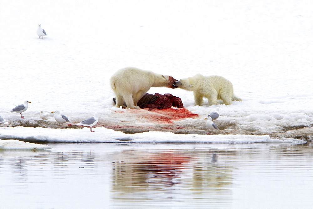 "Two young polar bears (Ursus maritimus) disputing feeding rights on a fresh bearded seal kill near Monacobreen Glacier, Spitsbergen in the Svalbard Archipelago, Norway. MORE INFO The IUCN now lists global warming as the most significant threat to the polar bear, primarily because the melting of its sea ice habitat reduces its ability to find sufficient food. The IUCN states, ""If climatic trends continue polar bears may become extirpated from most of their range within 100 years."""