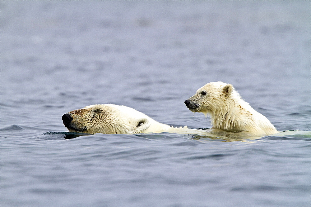 "Polar bears (Ursus maritimus) adult and cub swimming. Monacobreen Glacier, Spitsbergen in the Svalbard Archipelago, Norway. MORE INFO The IUCN now lists global warming as the most significant threat to the polar bear, primarily because the melting of its sea ice habitat reduces its ability to find sufficient food. The IUCN states, ""If climatic trends continue polar bears may become extirpated from most of their range within 100 years.""   - 979-8667"