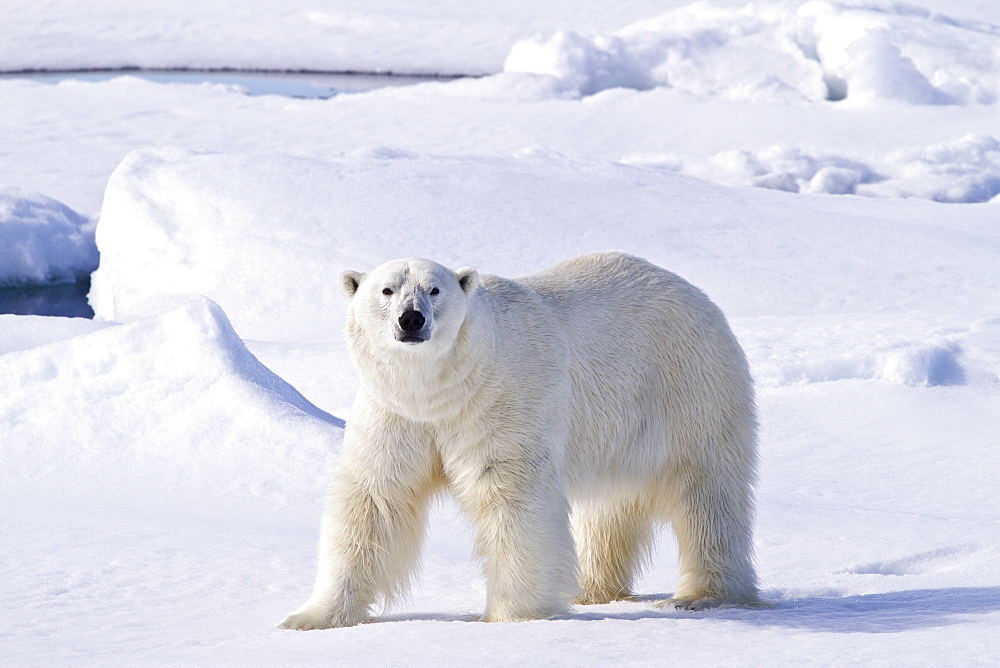 """Adult male polar bear (Ursus maritimus) on multi-year ice floes in the Barents Sea off the eastern coast of Spitsbergen in the Svalbard Archipelago, Norway. MORE INFO The IUCN now lists global warming as the most significant threat to the polar bear, primarily because the melting of its sea ice habitat reduces its ability to find sufficient food. The IUCN states, """"If climatic trends continue polar bears may become extirpated from most of their range within 100 years."""""""