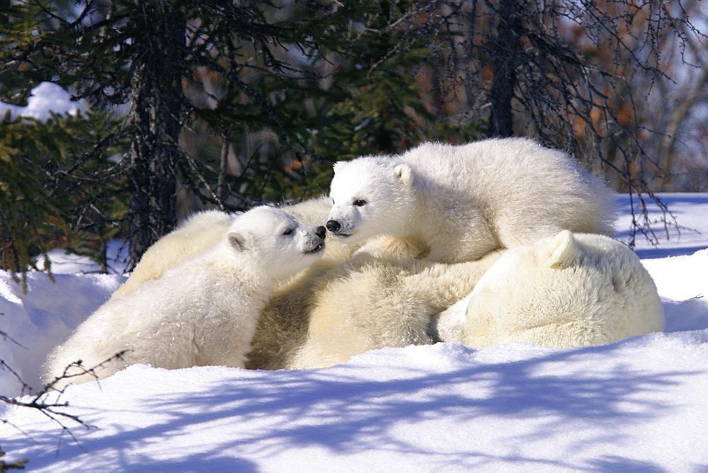Mother Polar Bear (Ursus maritimus) with 3 month old cubs near Wapusk Park, northern Manitoba, Canada. - 979-869