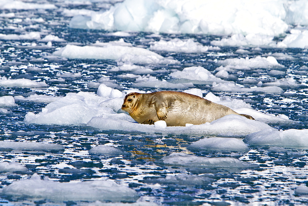 Adult bearded seal (Erignathus barbatus) hauled out on the ice in the Svalbard Archipelago, Norway. MORE INFO Bearded seals are the primary food source for the polar bear (Ursus maritimus). It feeds primarily on clams, squid, and fish along the bottom.