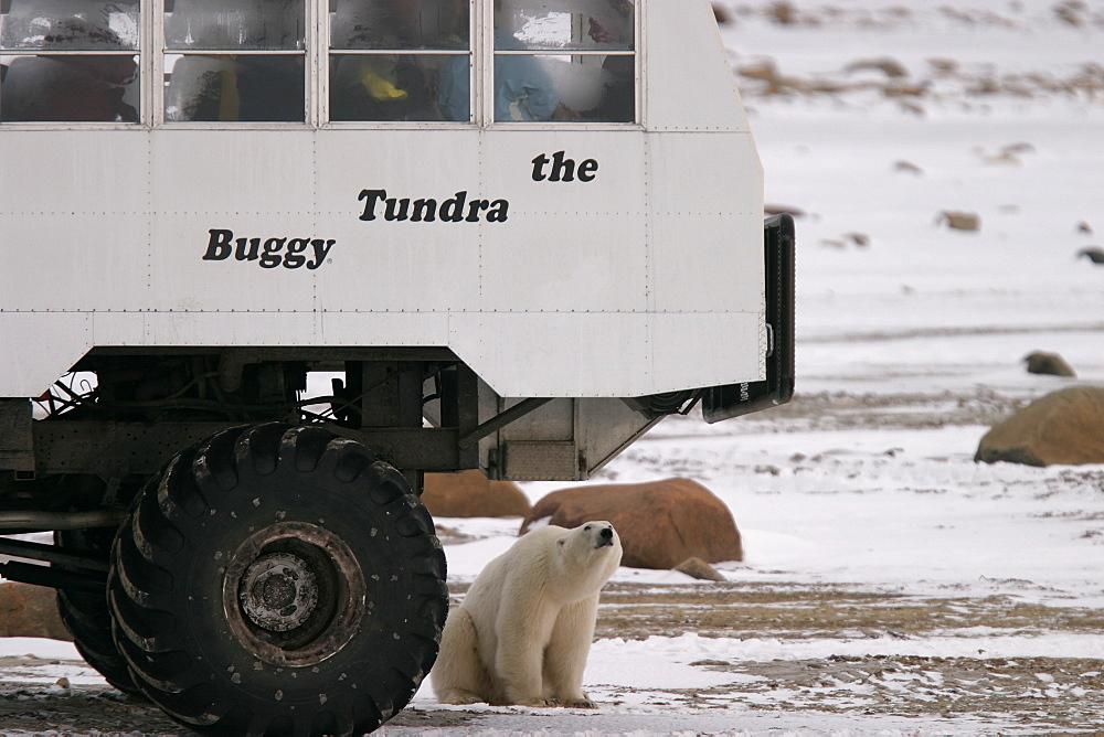 Young Polar Bear, Ursus maritimus, inspects Tundra Buggy near Churchill, northern Manitoba, Hudson Bay, Canada