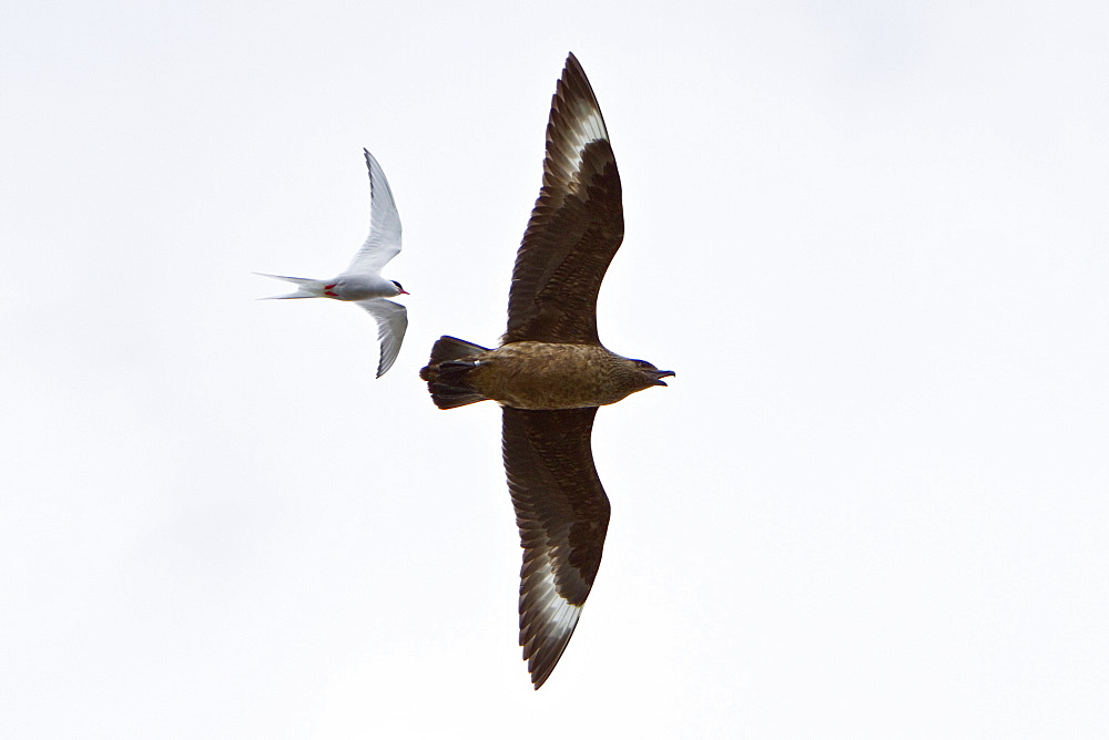 Adult great skua (Stercorarius skua) being dive-bombed by defensive arctic terns (Sterna paradisaea) guarding their nest sites in the Svalbard Archipelago, Norway. MORE INFO  It is a seabird in the skua family Stercorariidae. This bird will feed on rodents, small birds and insects but also robs gulls and terns of their catches, eggs, and young. It will also directly attack and kill other seabirds, up to a medium-sized gull.