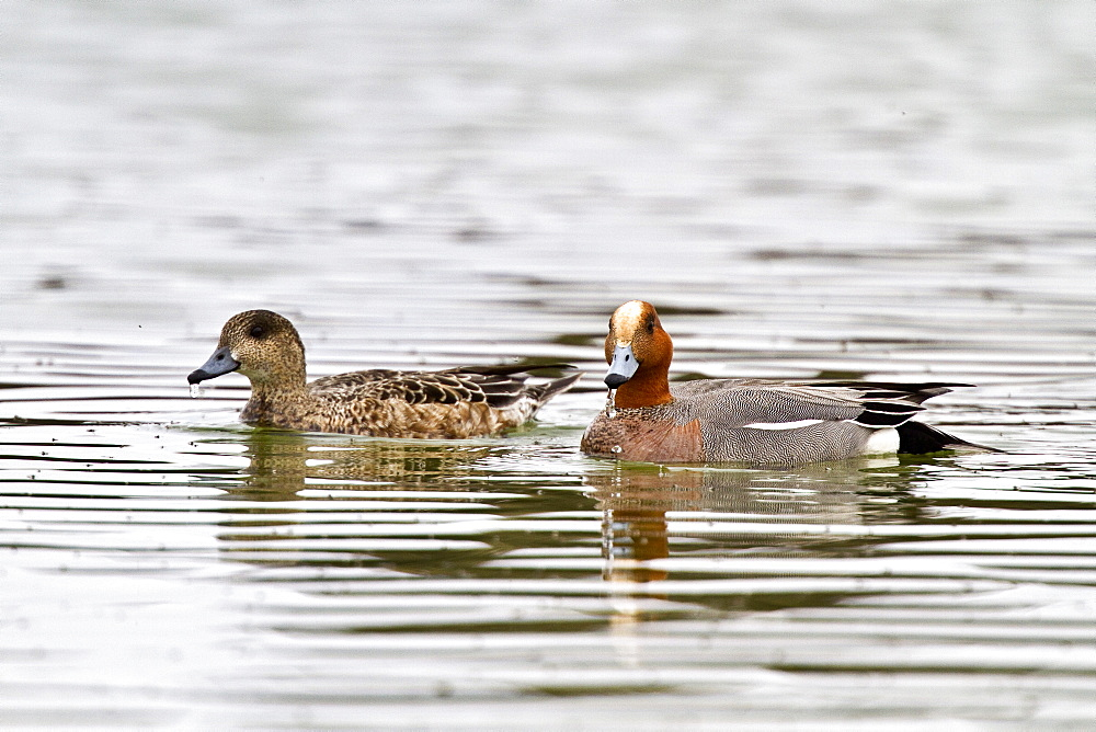 Adult Eurasian Wigeon (Anas penelope) in breeding plumage on Lake Myvatn, Iceland. MORE INFO American and Eurasian Wigeons have been known to hybridize in the wild.