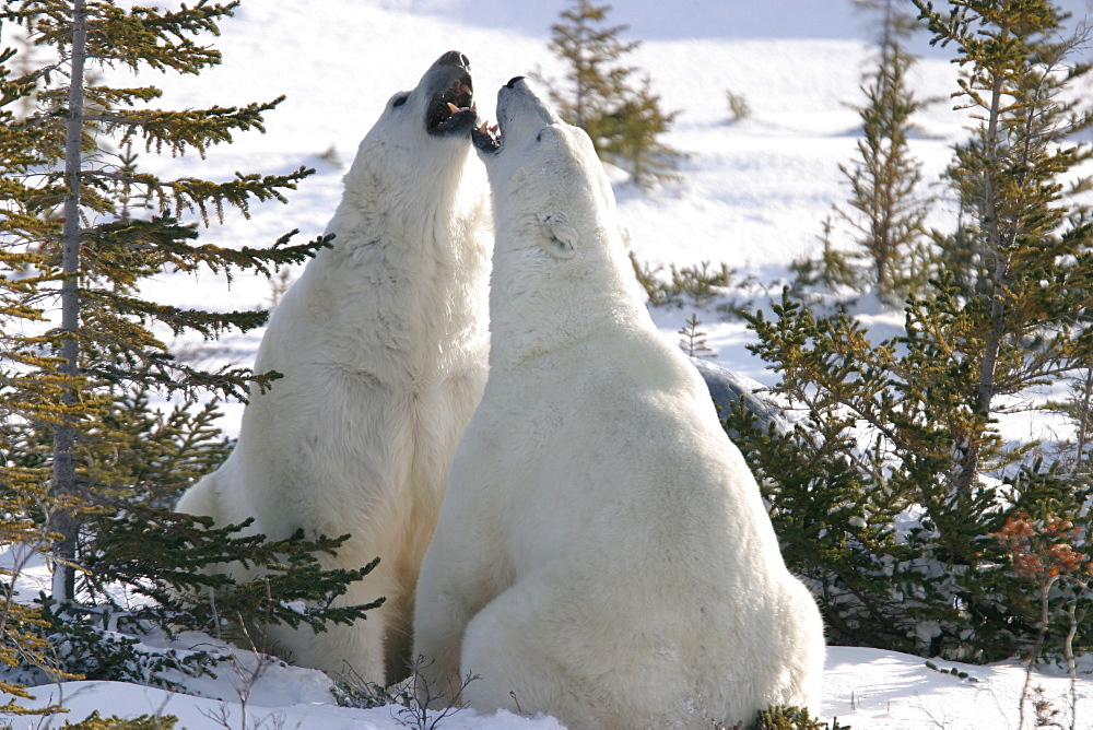 Male Polar Bears, Ursus maritimus, beginning to engage in ritualistic mock fighting (serious injuries are rare), near Churchill, northern Manitoba, Hudson Bay, Canada - 979-887
