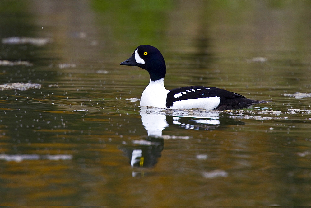 Adult Barrow's Goldeneye (Bucephala islandica) in full breeding plumage in the calm waters of Lake Myvatn, Iceland. MORE INFO The male of this species is particularly handsome in breeding plumage, with a purple head and black and white breeding plumage.