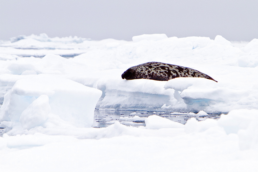 Adult male hooded seal (Cystophora cristata) hauled out on the pack-ice in seas between Iceland and Greenland in the Denmark Strait. MORE INFO The generic name means 'bladder-bearer' in Greek, from the peculiar inflatable appendage on the nose of the adult male. The seal is named after a cap-like bulge essay on the forehead and nose of the adult male which does not hang down, unlike that of the elephant seals.