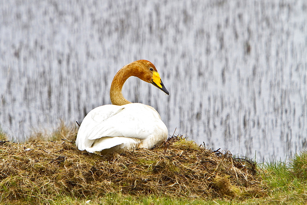 Adult whooper swan (Cygnus cygnus) pair on nest near Lake Myvatn, Iceland. MORE INFO The whooper swan is the Eurasian counterpart of the North American Trumpeter Swan. Whooper swans pair for life, and their cygnets stay with them all winter; they are sometimes even joined by offspring from previous years.