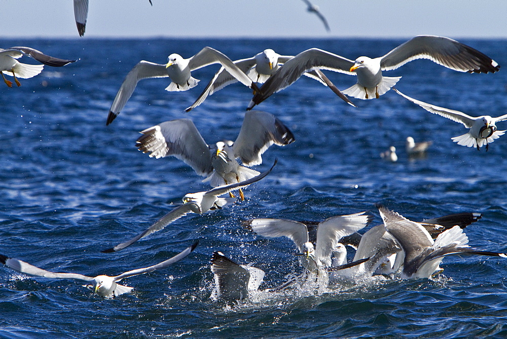 Gull feeding frenzy on bait ball off Fugloy Island in the Faroe Islands, North Atlantic Ocean