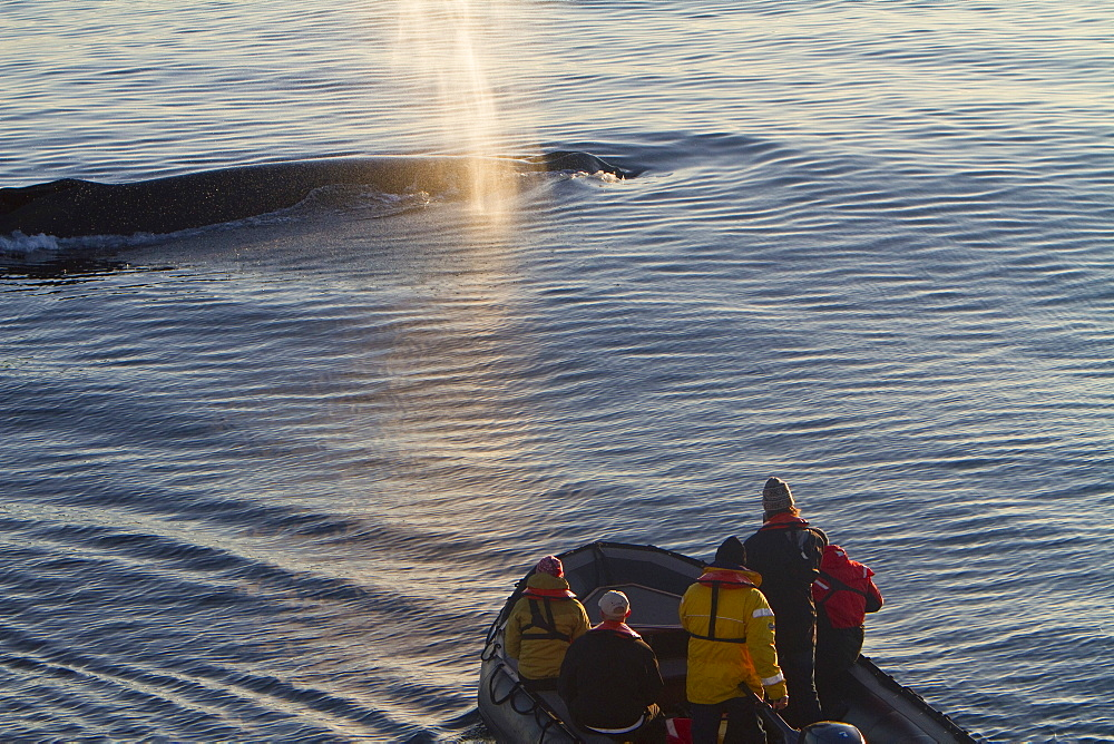 """Adult humpback whale (Megaptera novaeangliae) surfacing near researchers in Zodiac in the late evening at Siglufjordur, Iceland. MORE INFO There are at least 80,000 humpback whales worldwide, with about 12,000 in the North Atlantic. This species is considered """"least concern"""" from a conservation standpoint, as of 2008. This is an improvement from vulnerable in the prior assessment. Most monitored stocks of humpback whales have rebounded well since the end of commercial whaling including the North Atlantic where stocks are now believed to be approaching pre-hunting levels."""
