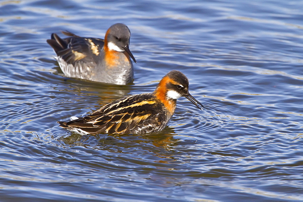Adult red-necked Phalarope (Phalaropus lobatus) in breeding plumage on Flatey Island in Iceland. MORE INFO This species exhibits reverse sexual dimorphism, females are larger and more brightly colored than males. The females pursue males, compete for nesting territory, and will aggressively defend their nests and chosen mates. Once the females lay their olive-brown eggs, they begin their southward migration, leaving the males to incubate the eggs and care for the young.