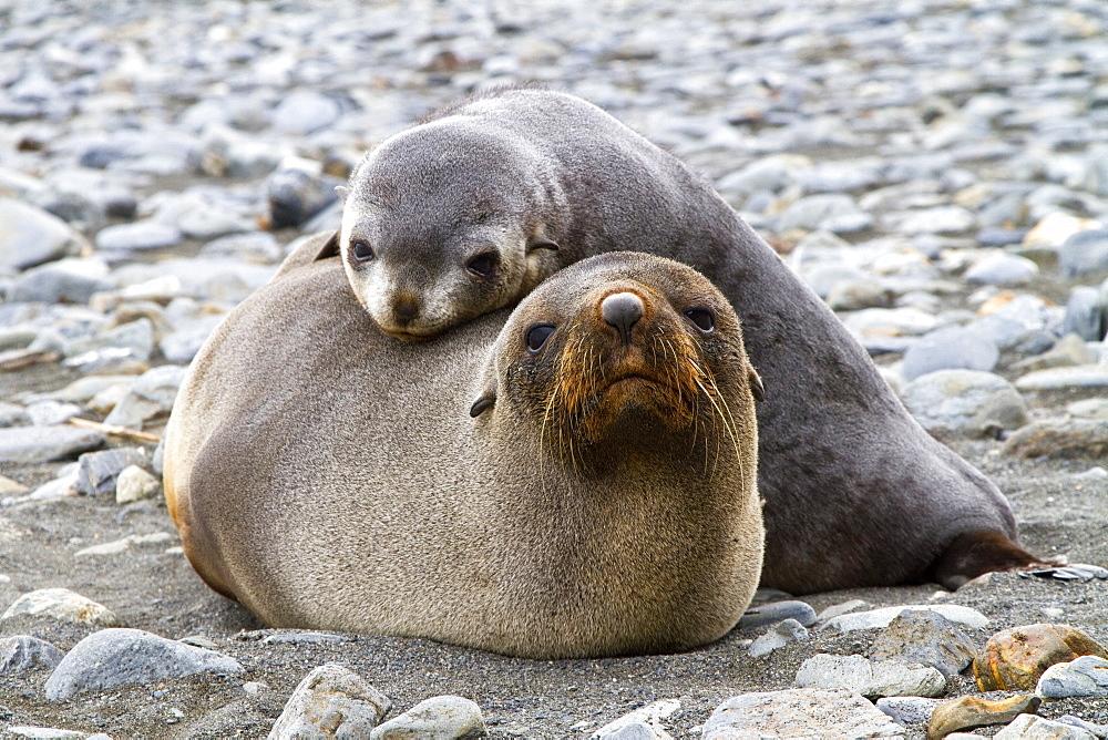 Antarctic fur seal mother and pup (Arctocephalus gazella) on South Georgia, Southern Ocean