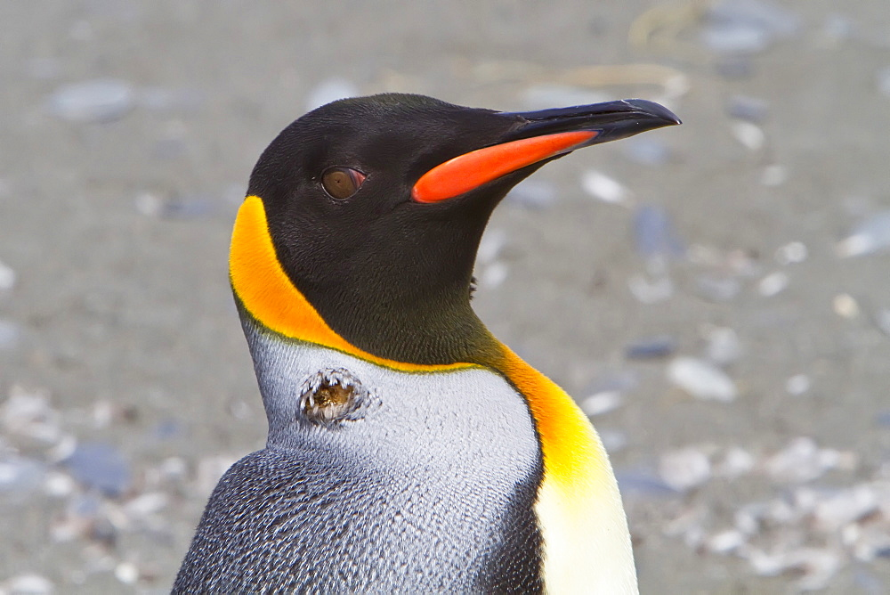 Avian pox outbreak at the king penguin (Aptenodytes patagonicus) breeding and nesting colony at Salisbury Plains, Bay of Isles on South Georgia Island, Southern Ocean.