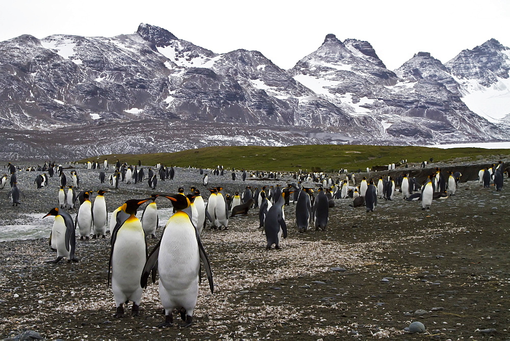 King penguin (Aptenodytes patagonicus) breeding and nesting colony at Salisbury Plains, Bay of Isles on South Georgia Island, Southern Ocean.